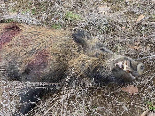 boars-image-4